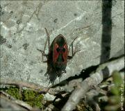Rhyparochromus phoeniceus