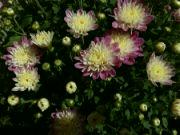 Kvetoucí chryzantémy: Václav Kovalčík