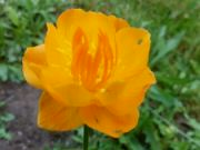 Kvetoucí upolín večer