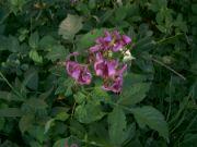 Lilie zlatohlavá v rozkvětu