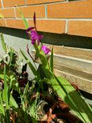 Orchidej vzpřímená
