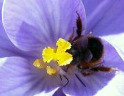 Čmelák na květu krokusu