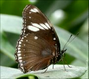 Hypolimnas bolina jacintha