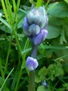Kvetoucí hyacintovec: Václav Kovalčík