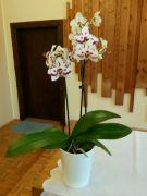 Phalaenopsis v kostele: Václav Kovalčík