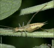 Cvrčivec révový
