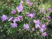 skalnič.rododendron