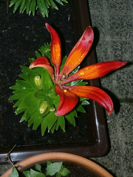 Mini-lilie v noci: Václav Kovalčík, Zlín