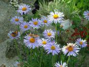 motýli na astře 023