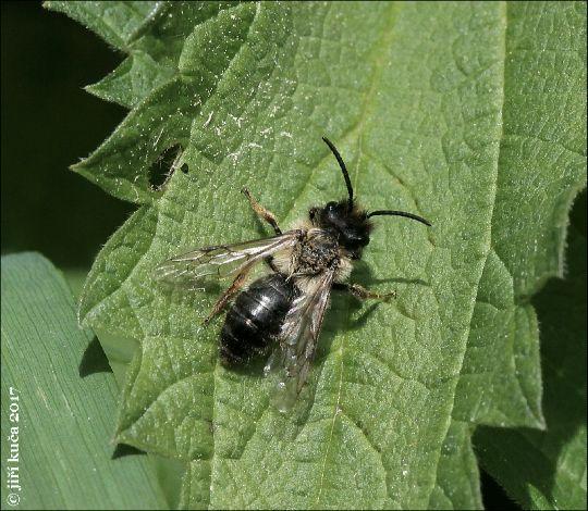 Andrena carantonica