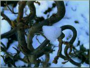 vrba v zimě