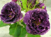 Růže Minerva