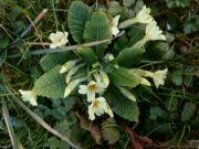 Kvetoucí prvosenka ve Zlíně