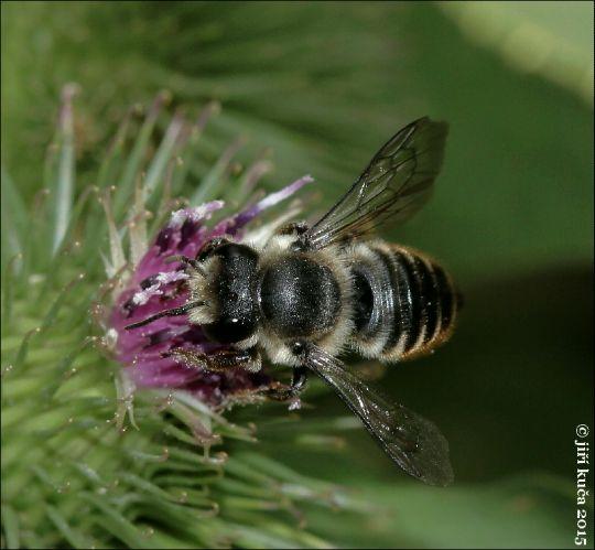 Megachile centuncularis