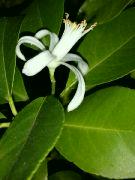 Kvetoucí Citrus v noci