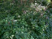 Rozkvět lilií zlatohlavých