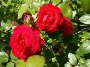 Kvetoucí růže: Václav Kovalčík