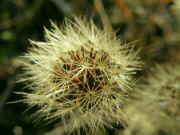suchá květina