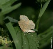 Kropenatec borůvkový