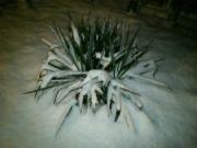 Juka vláknitá pod sněhem v noci
