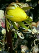 Kvetoucí talovín