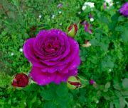 Letošní léto růžím přeje