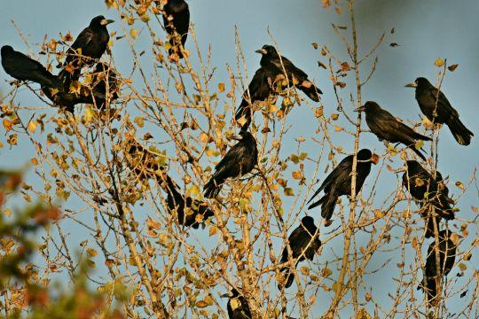 Vrány-havrani