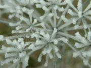 ledové květy