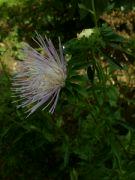 Kvetoucí astra: Václav Kovalčík, Zlín