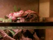 Užovka červená ze zverimexu