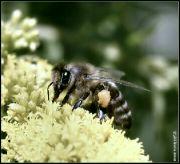 Včela medonosná tmavá