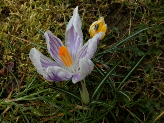 Kvetoucí krokusy
