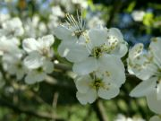 mirabelkový květ
