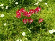 Tulipa humilis var. Violacea