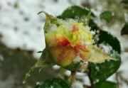 Poslední růže