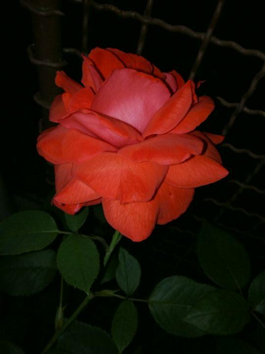 Kvetoucí růže v noci: Václav Kovalčík