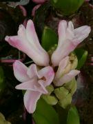 Kvetoucí hyacint v lednu 2021
