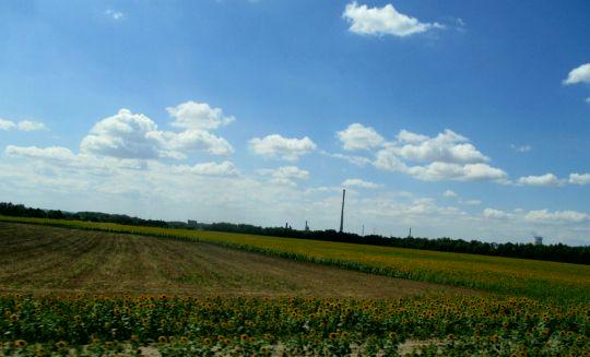 slunečnice z auta
