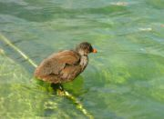 Mladá vodní slípka (asi)