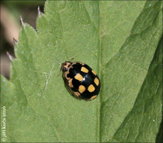 Propylea quatuordecimpunctata v. perlata