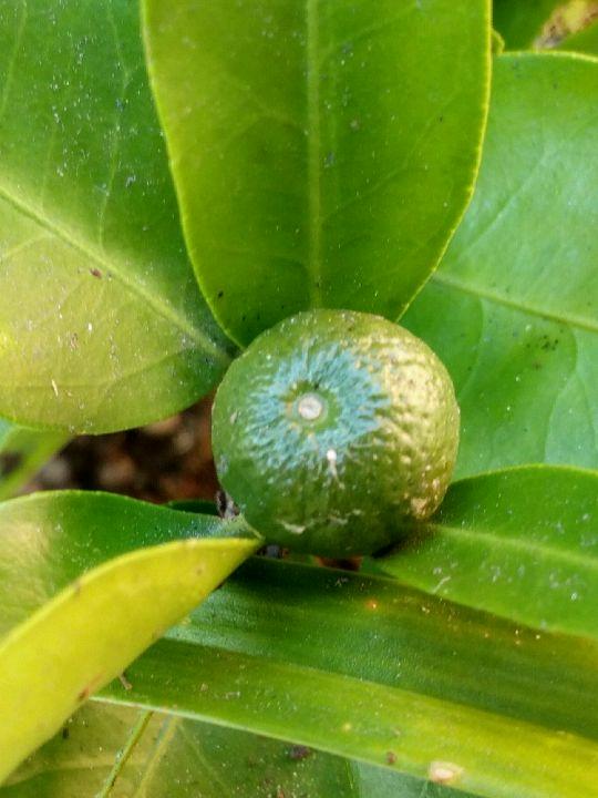 Plodící Citrus: Václav Kovalčík, Zlín