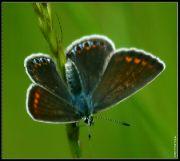 Modrásek tmavohnědý