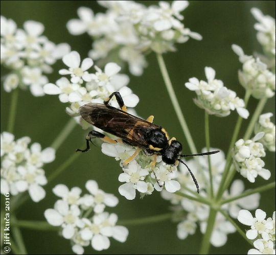 Macrophya montana