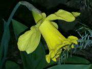 Kvetoucí narcis v noci