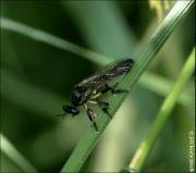 Dioctria cothurnata