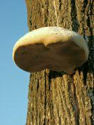 Dřevokazná houba