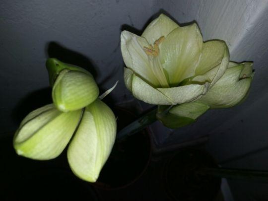 Kvetoucí Amarylis: Václav Kovalčík, Zlín