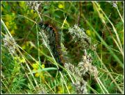 Motýlí housenka