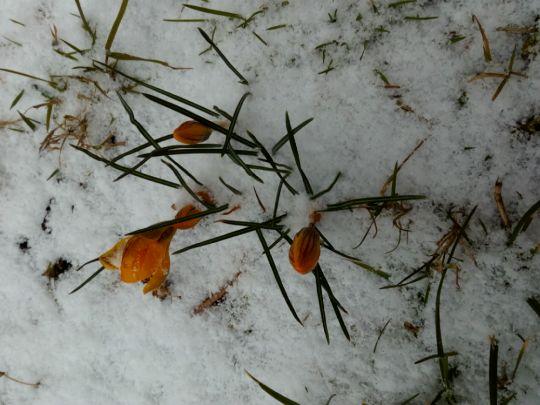 Krokusy ve sněhu: Václav Kovalčík, Zlín