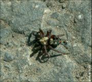 Skálovka mravencožravá